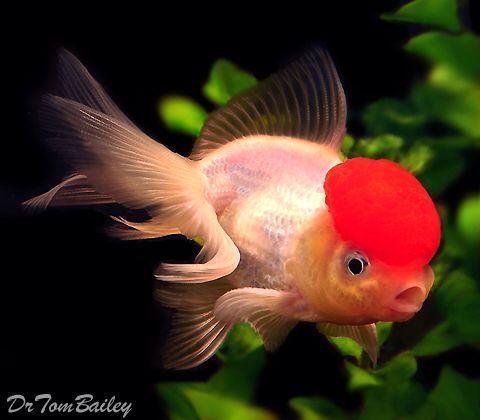 Red Cap Oranda Featured Item Red Cap Oranda Goldfish Fish Petfish Fishofinstagram Aquarium Aquariums Freshwater Freshw Goldfish Aquarium Fish Fish