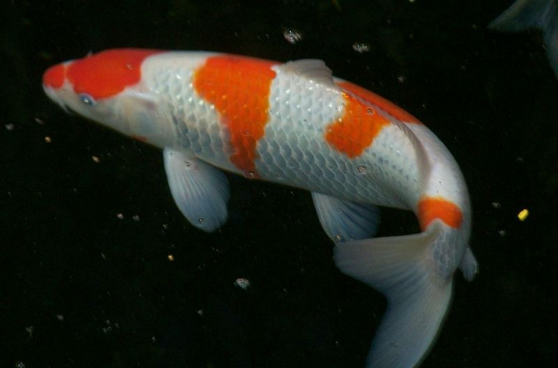 Koi scales some movement skillshare digital for Where to buy koi fish near me