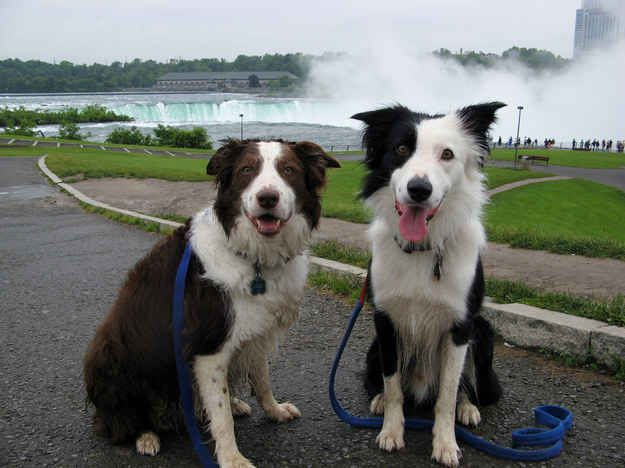 Pin On Border Collies Are The Best