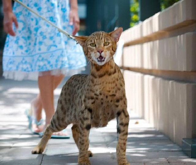 "The Ashera Cat - ""Heel!"" | Ashera cat, Cats, Hybrid cat"