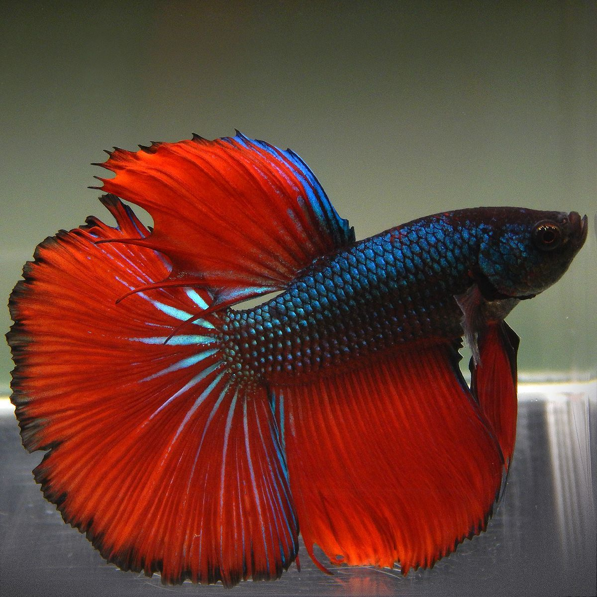 Live Betta Fish (Male) BLACK FIRE HALFMOON | Pinterest | Betta ...