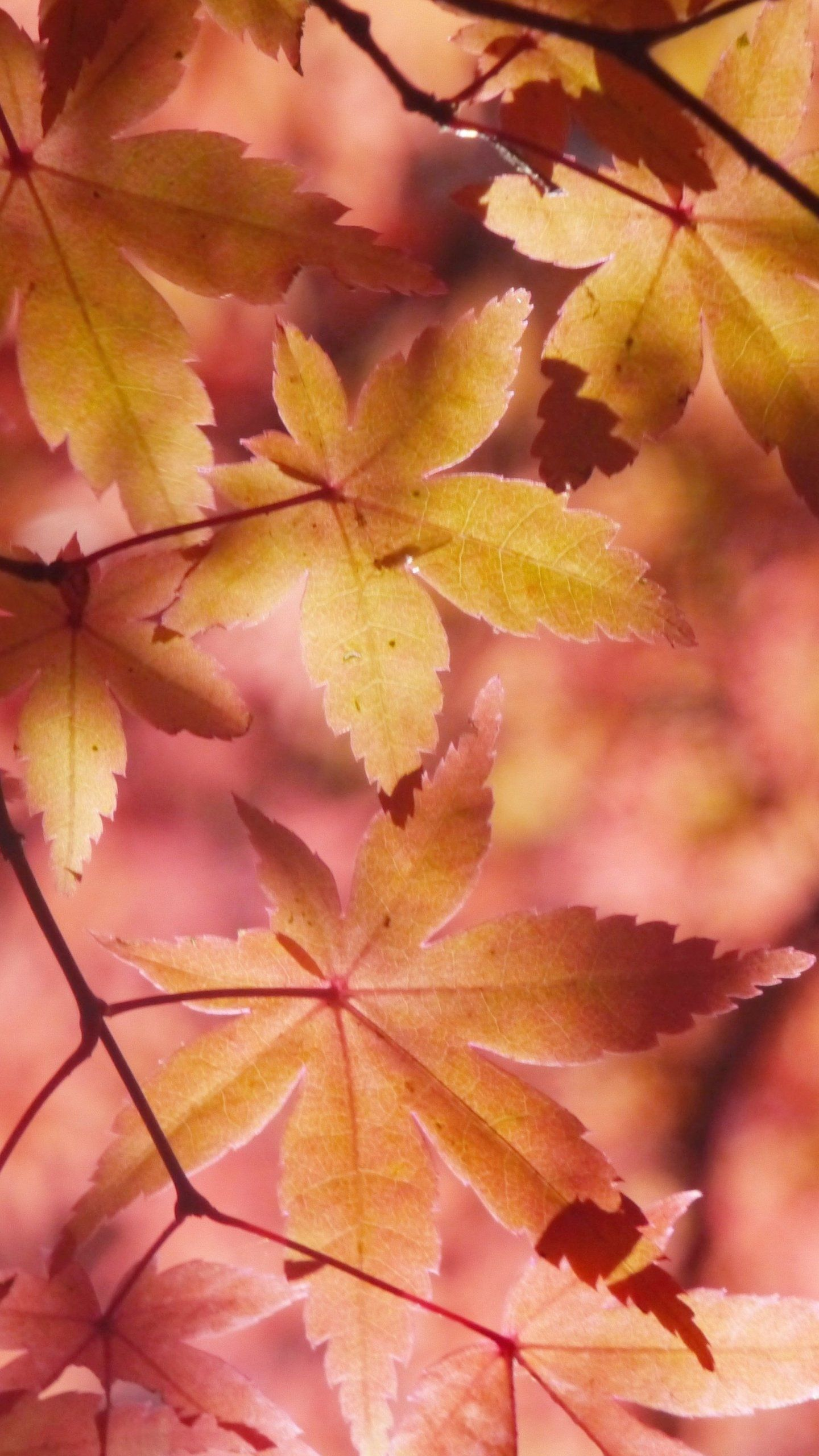 Autumn Maple Leaves Wallpaper Iphone Android Desktop Backgrounds Leaves Wallpaper Iphone Leaf Wallpaper Desktop Wallpaper Fall