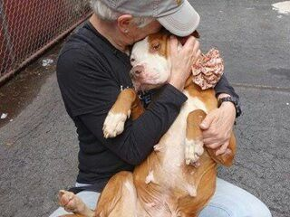 Urgent Part 2 - Urgent Death Row Dogs TO BE DESTROYED 5/16/14 Manhattan Center - P My name is RIZZOLI. My Animal ID # is A0999016. I am a female red and white pit bull mix. The shelter thinks I am about 3 YEARS old. I came in the shelter as a STRAY on 05/07/2014 from NY 10472, owner surrender reason stated was STRAY. I came in with Group/Litter #K14-176504. MOST RECENT MEDICAL INFORMATION AND WEIGHT 05/14/2014 Exam Type CAGE EXAM -Medical Rating is 3 C - MAJOR CONDITIONS , Behavior Rating is…