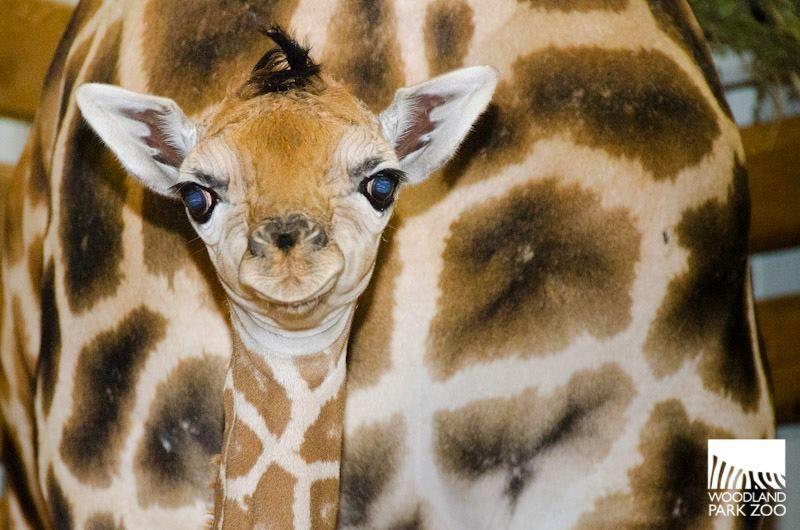 So ready for a close up! Baby Giraffe born at Woodland