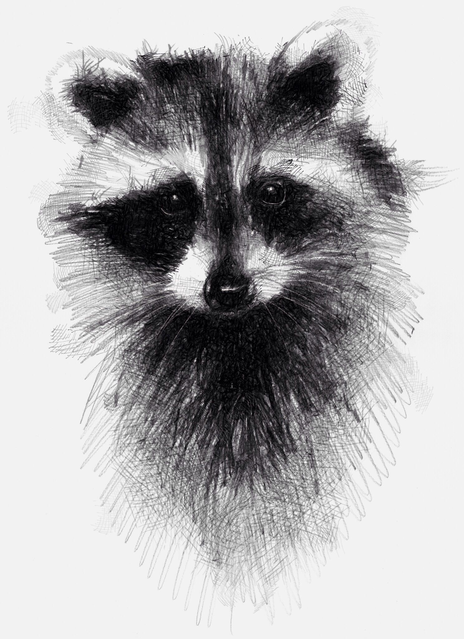Racoon, sketch,traditional drawing with digital finish ... Raccoon Drawing