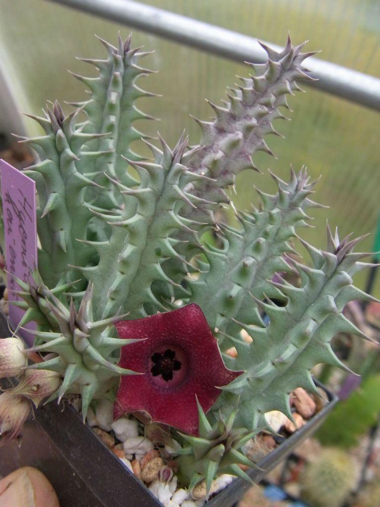 How to care for a false cactus on the windowsill
