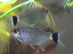 Red Eye Tetra All About Aquariums Fish Pet Tetra Freshwater Fish