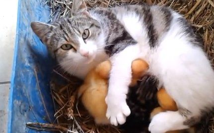 Daily Cute: A Cat and Her Ducklings