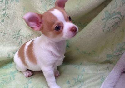 Apple Head Chihuahua Puppy Chihuahua Puppies Baby Chihuahua