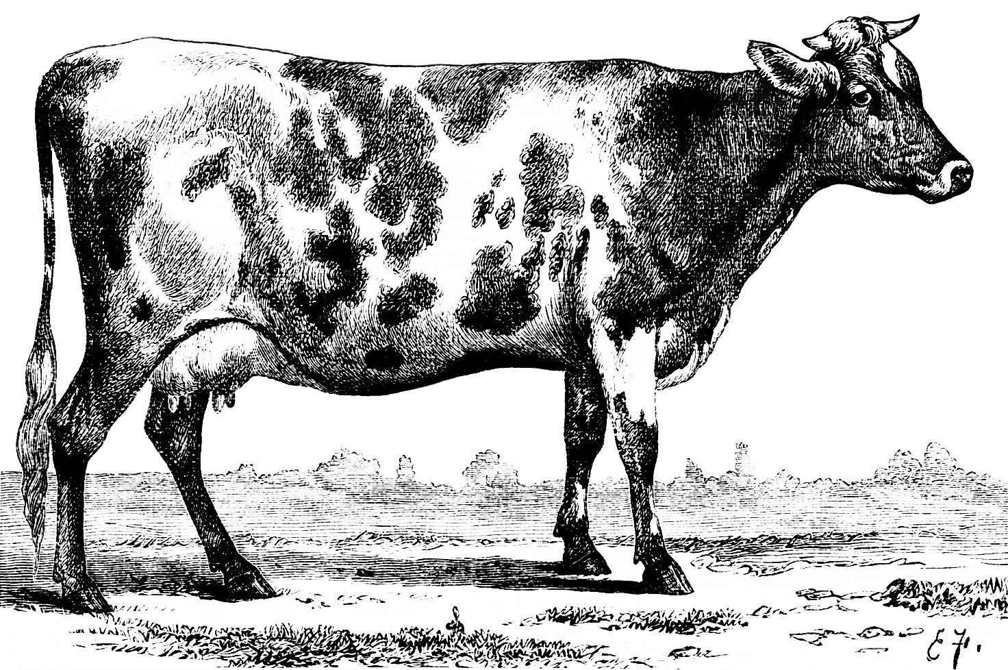 Black And White Clipart Cow Vintage Illustration Jersey Ayrshire Sketch Clip Art Farm Animal