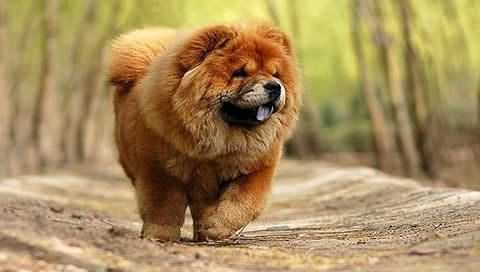 Chow Chow With Images Chow Chow Dogs Chow Dog Breed Chow Chow