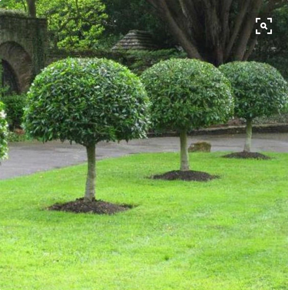 Pruned Laurel trees Topiary garden, Garden landscape
