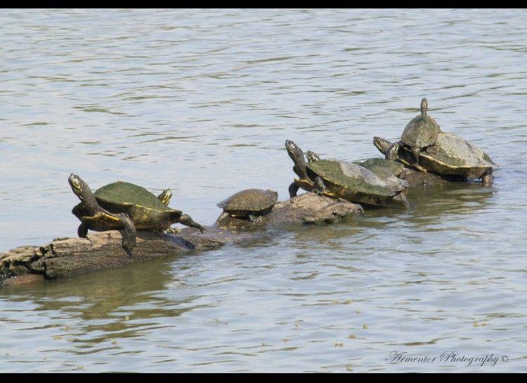 Swamp Turtles
