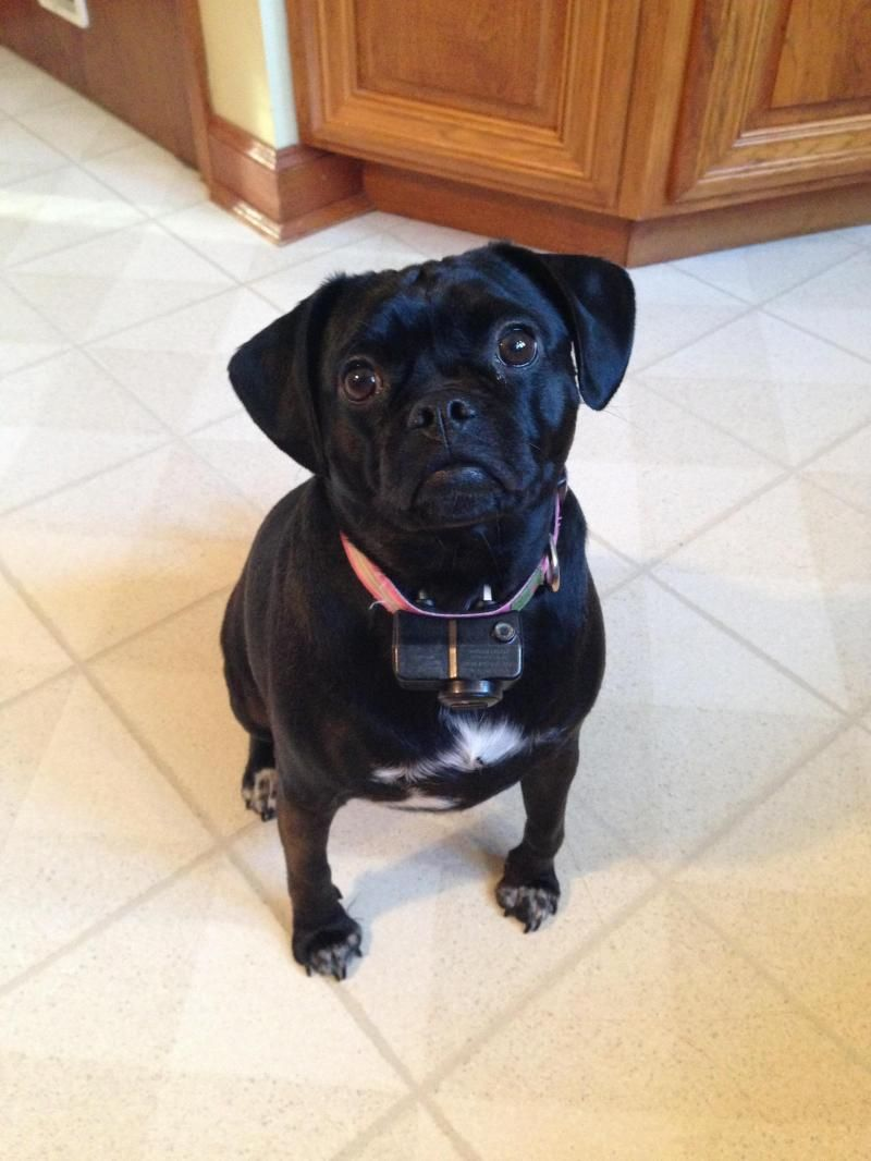 Meet Bella, a Petfinder adoptable Pug Dog | Akron, NY | Meet Bella!  Bella is spayed, and UTD on vaccines.  She is crate trained & house broken.  She gets...