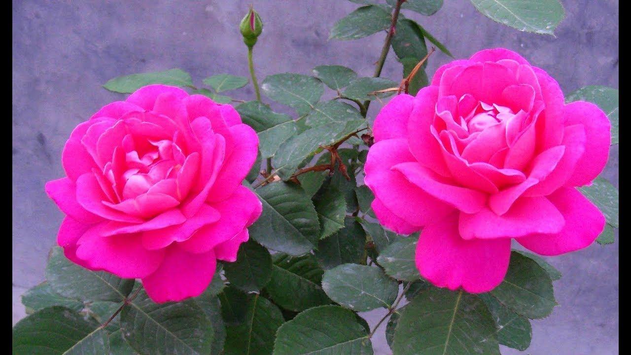 வ ட த டம ர ஜ ச ழ ப க வளர Home Garden Rose To Gr