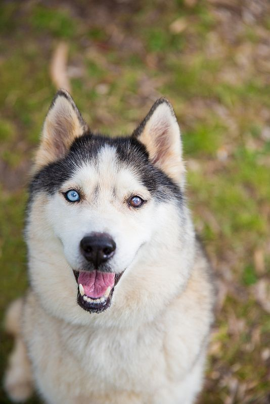 Husky Female Maggie 35 50 Pounds Female 20 23 5 Inches Life Span