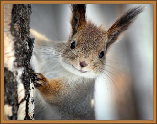 Long Eared Squirrel Squirrels  pinterest