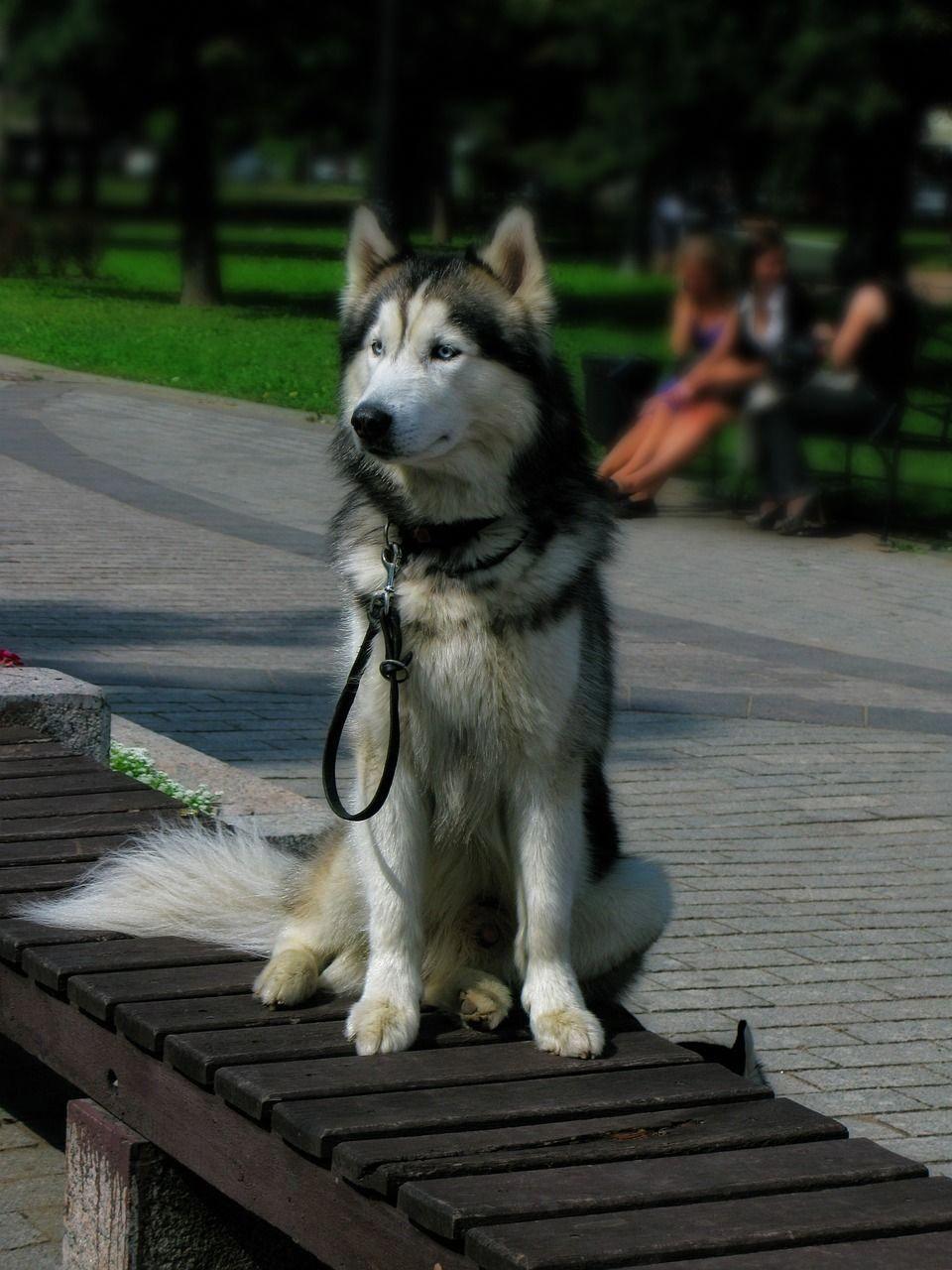 Siberian Husky White Siberian Husky Puppies Husky Malamute Dog