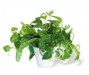 Plantas de sombra para decorar el interior decoraci n - Plantas de interior purificadoras del aire del hogar ...