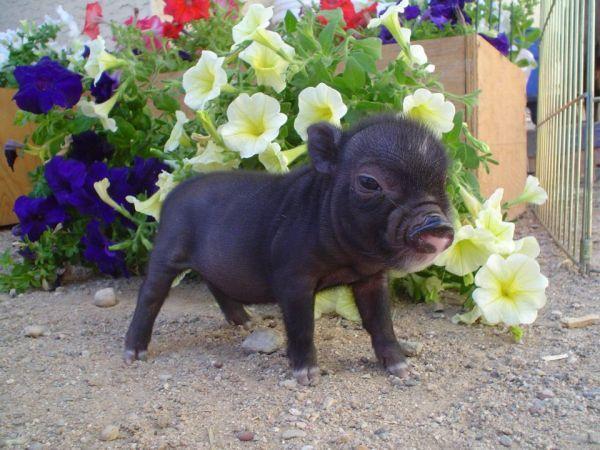Micro Mini Potbelly Piglets Baby pigs, Mini pigs, Pet pigs