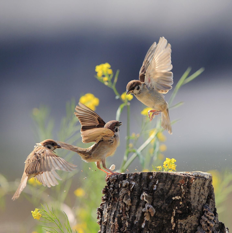 Sparrow (참새) by Lim yangmook