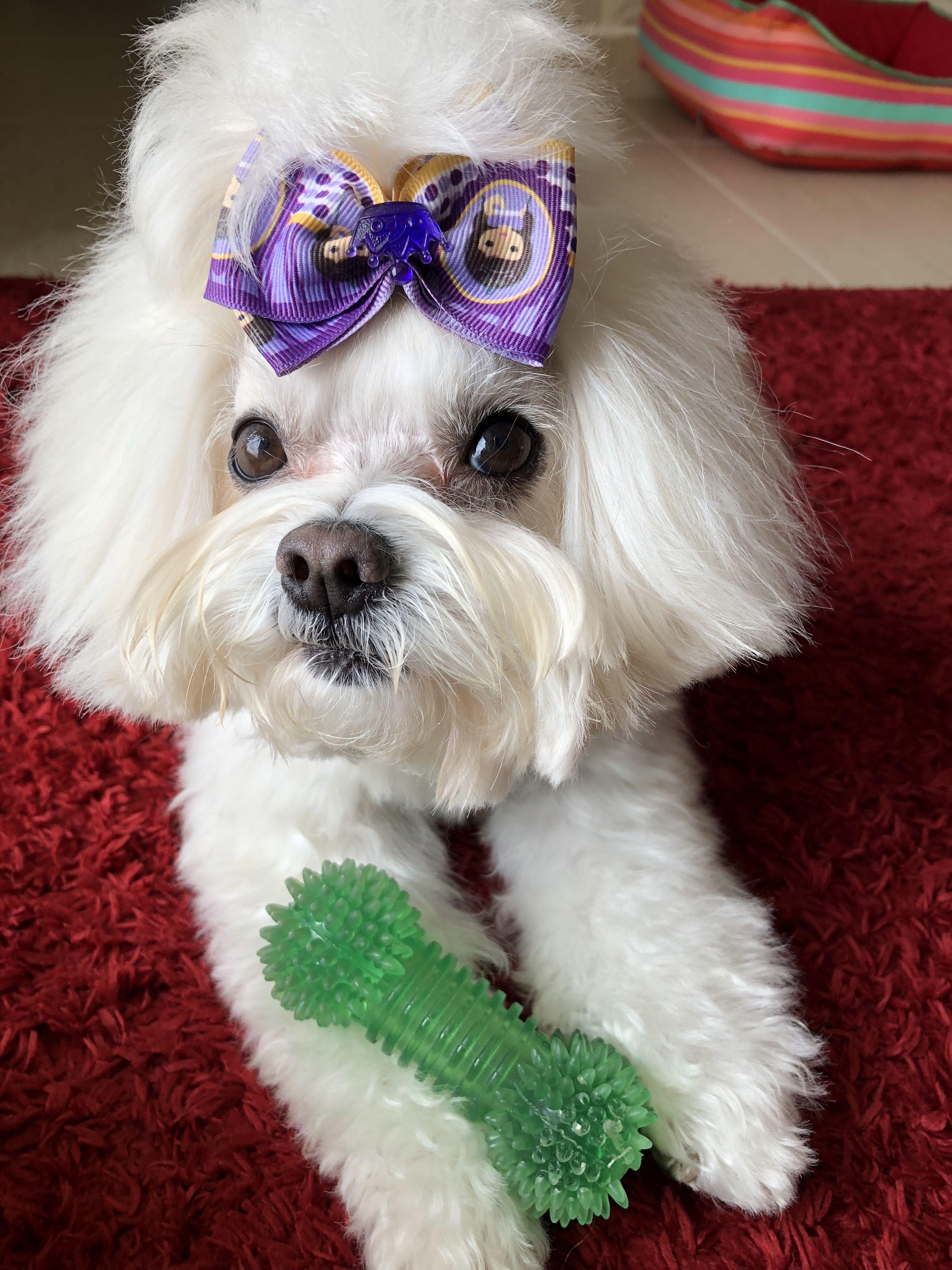 Maltese Omg Those Eyes Maltese Dogs Dog Cat