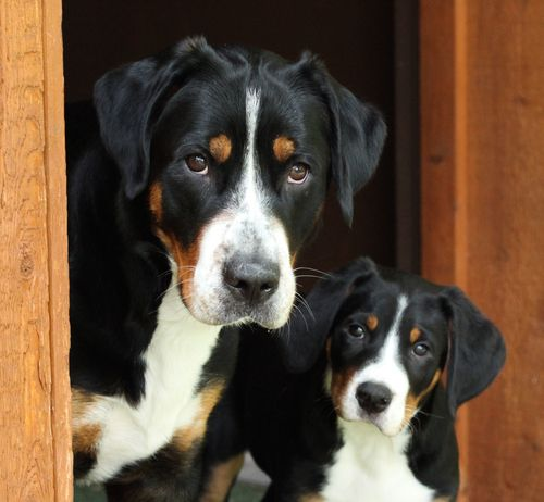 Greater Swiss Mountain Dog Grosser Schweizer Sennenhund Grand Bouvier Suisse Appenzeller Sen Greater Swiss Mountain Dog Swiss Mountain Dogs Mountain Dogs
