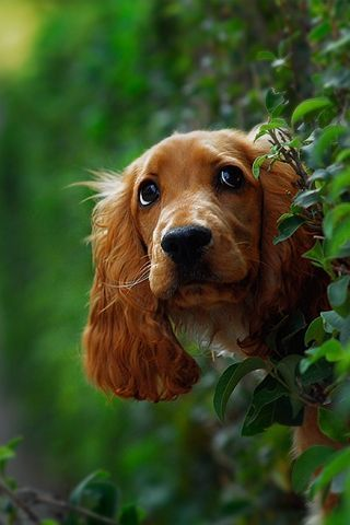 Peeking Through The Hedge American Cocker Spaniel Dogs Puppies Pets Animals Dog Animation Dogs Pet Dogs
