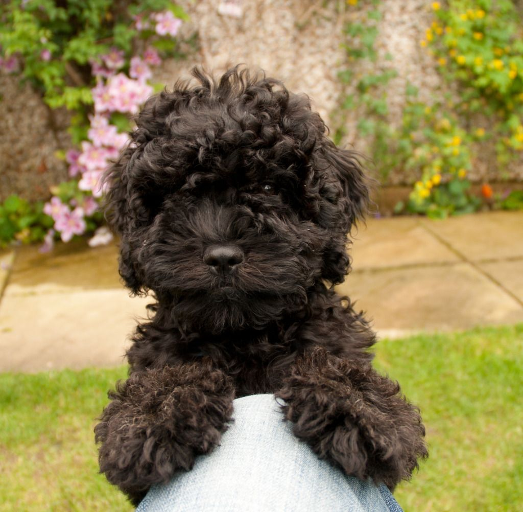Anyone On Here Have A Cavapoo Cavapoo Cavapoo Puppies Poodle