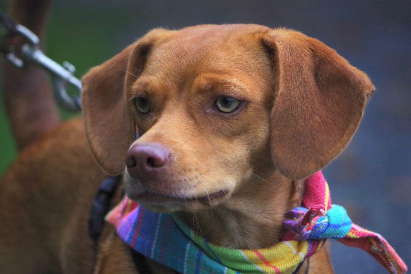 Adopt Ginger on Labrador retriever mix, Animal rescue