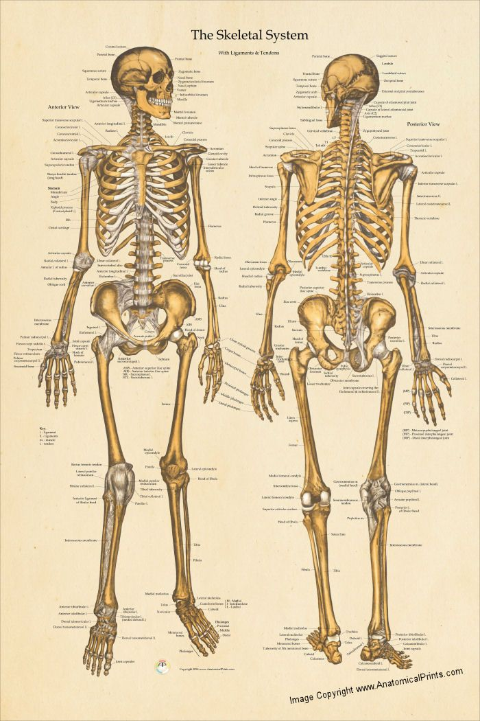 Human skeletal system anatomical chart created with vintage anatomy illustrations also poster  laminated or heavy weight paper rh pinterest