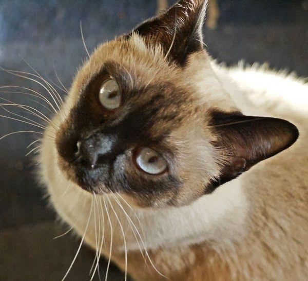 Unsere Siamkatzen sind 1 Jahr Katzen kaufen, Siam