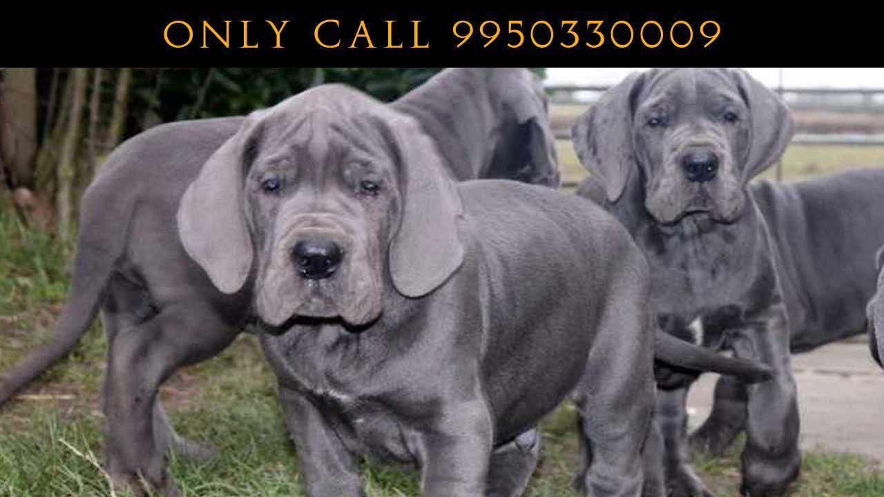 Harlequin Great Dane Top Quality Pets Sale Rajasthan Pet Shop