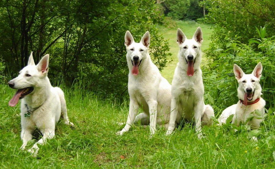 king shepherd dog photo (German Weisser Schweizer