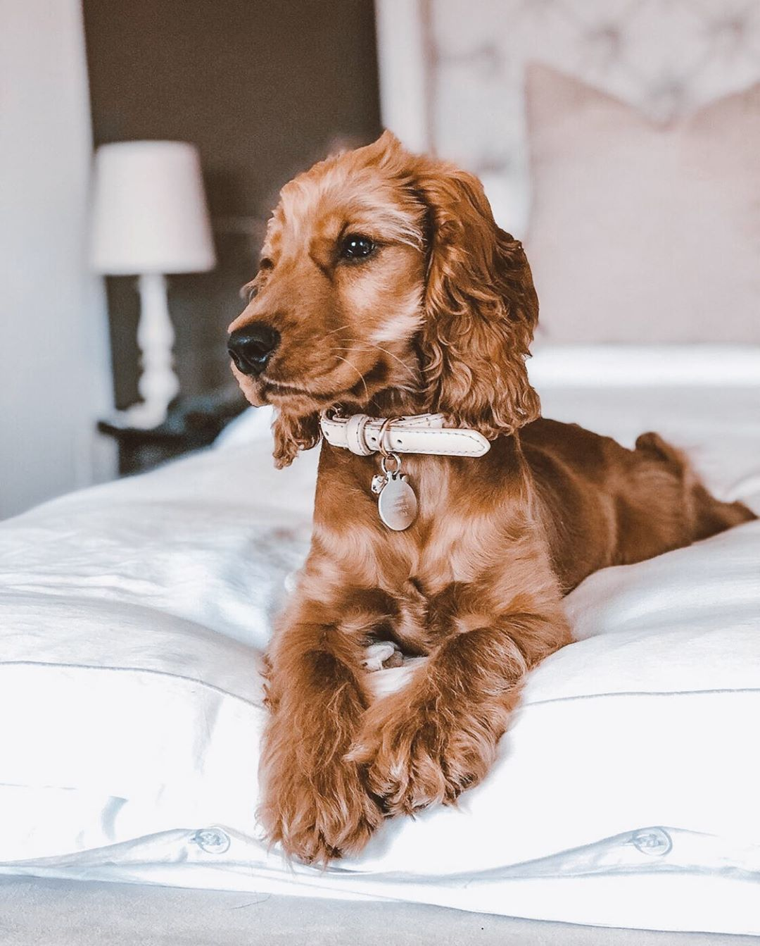 How To Stop Dogs Barking At Other Dogs Sweet Sweet Margotthecocker We Love Your Adorable Face Your Trendy Co Cocker Spaniel Puppies Dogs The Perfect Dog