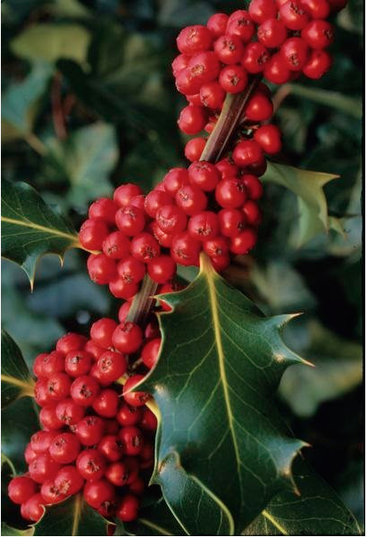 Holly Berries Poisonous Hard Red Berries That Grow On Deciduous Or Evergreen Shrubs These Shrubs Can Grow To Be A Tree Berries Holly Berries All Berries