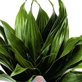 janet craig compacta dracaena one of over 400 varieties from exotic angel plants over 400. Black Bedroom Furniture Sets. Home Design Ideas