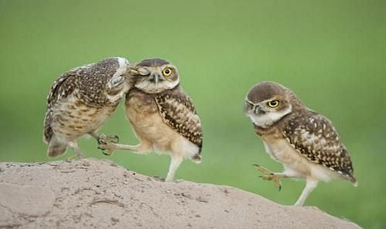 Evil owl does not like being the third wheel