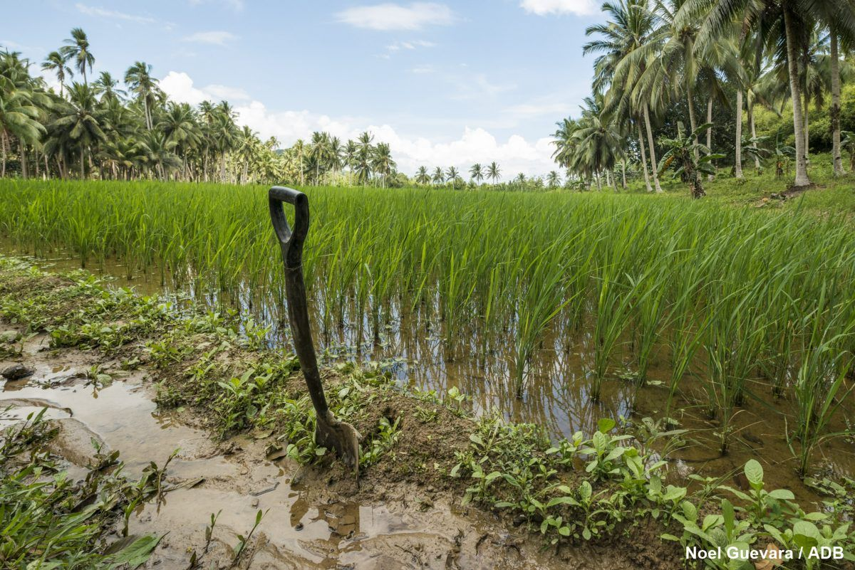 Self Taught Rice Farmer Cultivates Saltwater Resistant