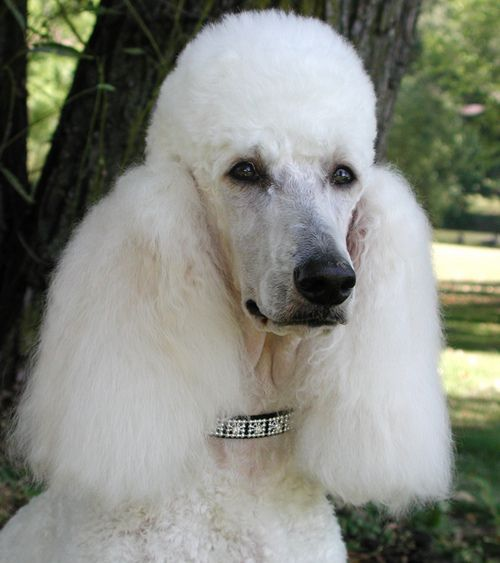 Standard Poodle Poodle French Dogs Dog Breeds