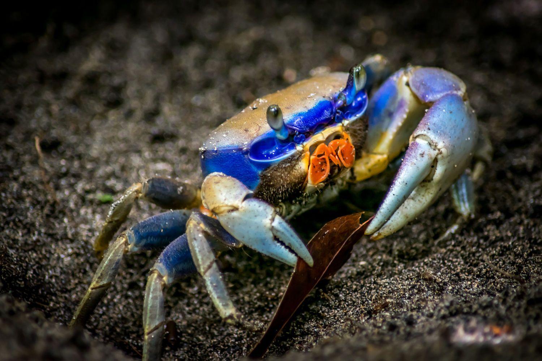 Cangrejo Azul by gherson porras on 500px | OCEAN BLUE, CRUSTACEOS ...
