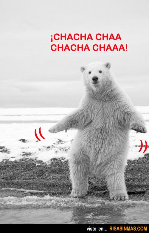 Oso Blanco Chachachá Osos Amo Los Animales Animales Chistosos