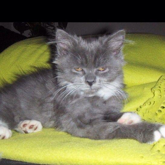 Baby-Leo  #gato #maincoon #maincoons #maincooncat #maincooncat #maincoonstagram #maincoone #мейнкун #kat #cat #кот #分層 #早上 #早晨 #生活 #美女 #belleza #vida #緬因庫恩  #котенок #красота #吉 #緬因庫恩 #chat #lesmatins #chaton #小猫 #gatito #bebé #ребенок #baby #tb by leoliciouscat