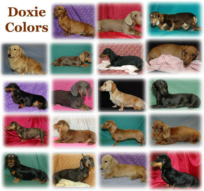 Dachshund Colors And Patterns Google Search Dachshund Colors