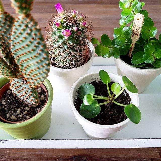 Allemaal gezellige plantjes op m'n eettafel 😊 Zo leuk dat m'n cactus roze bloemetjes heeft 😍 Staat zo vrolijk! Net lekker spaghetti gegeten 🍝, nu klaarmaken voor de sportschool! 💪
