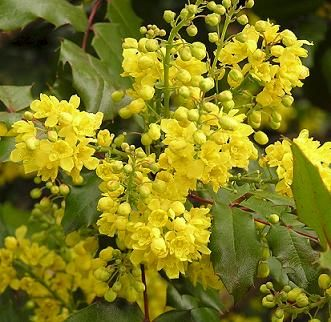 How beautiful is our oregon state flower the tall oregon grape how beautiful is our oregon state flower the tall oregon grape mahonia aquifolium an evergreen shrub this oregon grape is good looking all year publicscrutiny Images