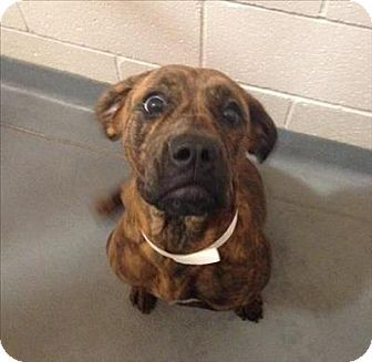 Boxer/Hound (Unknown Type) Mix Dog for adoption in Dallas