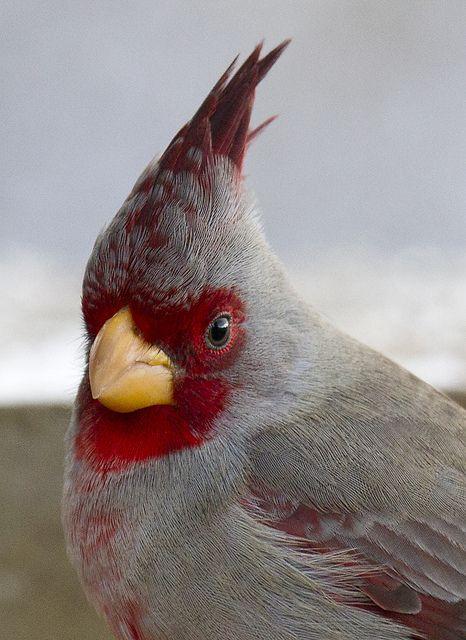 Pyrrhuloxia aka Desert Cardinal by SearchNetMedia