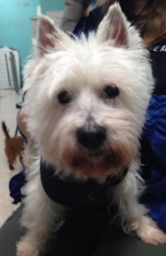 Adopt Martha on West highland terrier, Terrier rescue