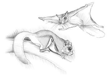drawings of squirrels Southern Flying Squirrel Glaucomys volans
